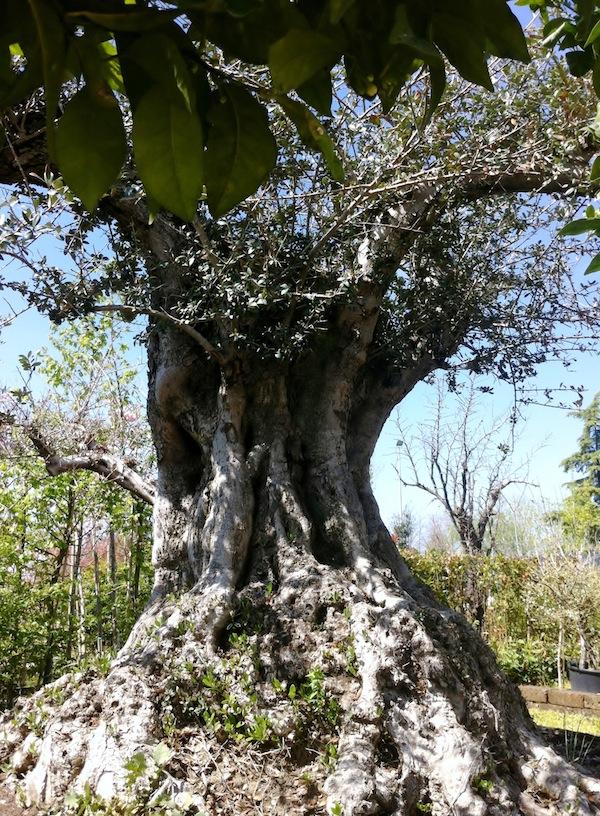 Giardini mediterranei rovigo veneto olivo rovigo - Giardini mediterranei ...